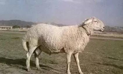 知识 | 这份羊品种大全,一定要收藏