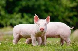 河南发展生猪标准化规模养殖